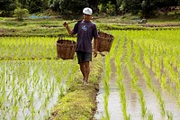 Rice cultivation on the fields in North East Thailand