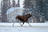 European Moose Alces alces alces adult female, running across snowy field, with house in background, Finland, december