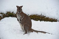 Red_necked Wallaby Macropus rufogriseus adult, standing on snow, Whitewell, Lancashire, England, winter, captive