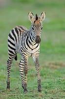 Grant´s Zebra Equus quagga boehmi foal, walking, Masai Mara Game Reserve, Kenya