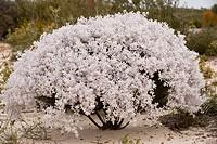 Lambswool Bush Lachnostachys eriobotrya flowering, on sand in Kwongan heath, Alexander Morrison N P , Western Australia, Australia