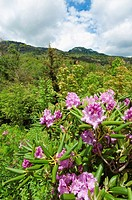 Beautiful view of the popular Blue Ridge Parkway destination Grandfather Mountain, with Catawba Rhododendron in full bloom