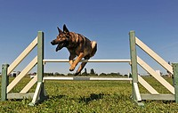 jumping german shepherd
