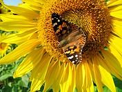 Sonnenblume mit Distelfalter