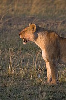 A tired lioness looks for her young cub on the plains of the Masai Mara