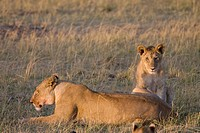 A lioness &amp; her cub relax in the morning sunshine in Kenya