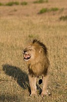 A male lion growls at the approaching female in the pride