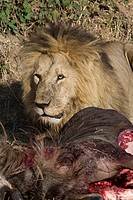 A male lion eats a fresh wildebeest kill in the Masai Mara