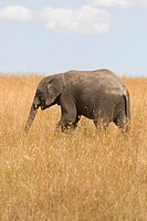 An African elephant calf walks the plains of the Masai Mara