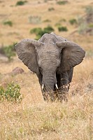 An African elephant on the plains of the Masai Mara