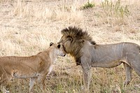 A male lion greets on of the females as he comes back to his pride in the Masai Mara