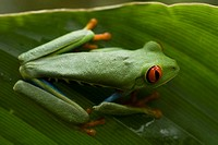 Red eyes tree frog - Tortuguero (thumbnail)