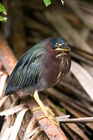 Green backed Heron _ Tortuguero