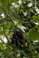 Howler monkey _ Cahuita