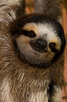 Three_toed sloth portrait _ Cahuita