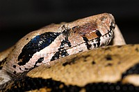 South American Bushmaster snake close up