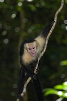 White headed Capucin monkey _ Manuel Antonio