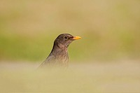 European Blackbird Turdus merula adult female, foraging on ground, England