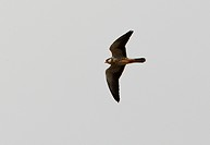 Amur Falcon Falco amurensis adult female, in flight, Beidaihe, Hebei, China, may