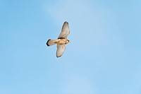 Common Kestrel Falco tinnunculus adult female, in flight, Peak District, Derbyshire, England, winter