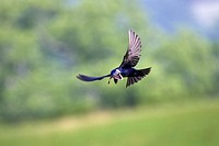 Purple Martin Progne subis adult male, in flight, with butterfly in beak, U S A