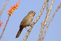 Canyon Towhee Pipilo fuscus adult, perched on ocotillo stem, U S A