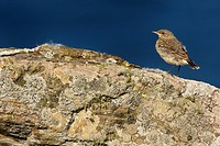 Northern Wheatear Oenanthe oenanthe immature, standing on coastal rocks, Shetland Islands, Scotland, july