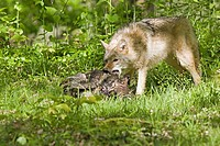 Coyote Canis latrans adult, feeding on wild turkey, U S A