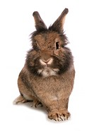 Domestic Rabbit, adult, sitting