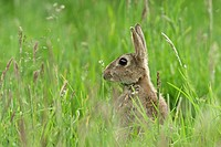 European Rabbit Oryctolagus cuniculus adult, alert, amongst grass in orchard, Kent, England, summer