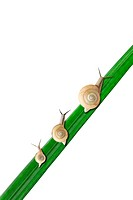 Three snails on leaf, white background