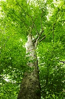 Low angle view of a lush green beech tree. Fukushima Prefecture, Japan
