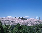 Blossoming cherry trees in Negishi Forest Park. Yokohama, Kanagawa Prefecture, Japan