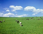 Cattle grazing in a field with fluffy clouds in the sky. Japan