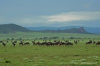 Africa, Tanzania, herd of wildebeests on grassy plain