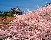 Okazaki castle surrounded with blossoming cherry trees, Aichi Prefecture, Japan