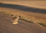 western, owl, saskatchewan, scenic, flight, shorteared