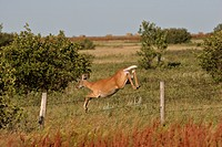 fence, deer, barbedwire, leaping, doe, whitetailed