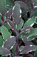 Close_up of sage leaves