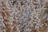 snow covered European larches, autumn, Nationalpark Gran Paradiso, Italy