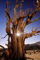 Magnificent and ancient Bristlecone pine tree at sunset with the sun peeking thru it's branches