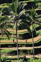 Indonesia, Bali, Tegallalang, rice fields, landscape,