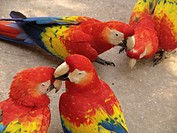copan, person, macaws, tame, honduras, people