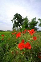 poppies on the edge of an agricultural field, fantecolo, franciacorta