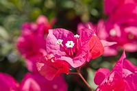 Bougainvillea spectabilis flower close-up