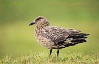 Skua or Northern Skua Stercorarius Skua portrait  Northern Skuas are living near the coastlines of Northern Europe and are famous for their aggressivi...