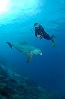 Dolphin and Diver, Tursiops truncatus, Caribbean Sea, Netherland Antilles, Curacao