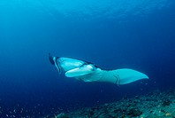 Manta, Manta birostris, Indian Ocean, Maldives Island