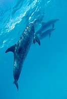 Spotted Dolphins, Stenella frontalis, Atlantic, Caribbean Sea, Bahamas