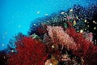 Coral Reef with Anthias and Pygmy Sweepers, Pseudanthias, Similan Islands, Thailand